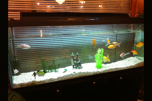 Fish aquarium with fancy goldfish, a plecco and gravel and sandcastle