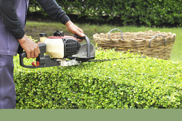 chainsaw being used to trim the top of hedges evenly