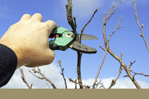 clippers being used to prune a tree branch
