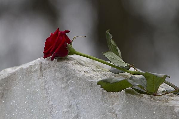 a single stemmed red rose laid on the top of a cement gravestone